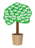 Cash tree in a pot Stock Images