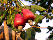Cashew. In the tree - Amazonia - Brazil royalty free stock image