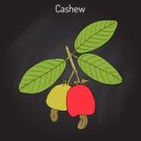 Cashew Anacardium occidentale nuts Royalty Free Stock Images
