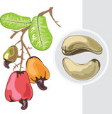 Cashew. Branch with fruits and nuts. Stock Images