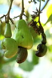 Cashew on build. We all know cashew nuts, but most people don& x27;t know they are growing like this. The fruit around them is much bigger, but provides the Royalty Free Stock Photos