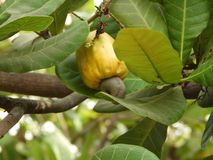 Ripe Cashew fruit. Cashew fruit growing also called as anacardium occidentale stock photo
