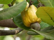 Ripe Cashew fruit. Cashew fruit growing also called as anacardium occidentale royalty free stock photo