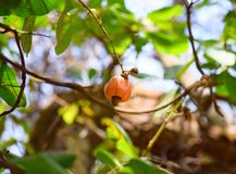 Cashew Fruit with Nut on branch of Cashew Tree - Anacardium Occidentale. This is a photograph of cashew fruit, also called cashew apple, along with cashew nut Royalty Free Stock Photography
