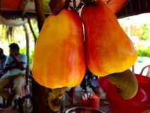 The cashew fruit. It`s beautiful picture of cashew fruit.This picture taken during summer. Th process of making cashew is little hard. It contains harmful royalty free stock photo
