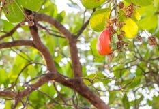 Cashew fruit on tree Stock Photo