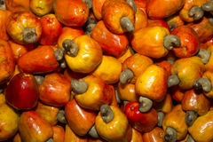 Cashew fruit. The cashew tree is a tropical evergreen tree that produces the cashew nut and the cashew apple royalty free stock photography