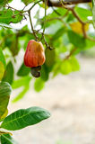Cashew nut Stock Photo