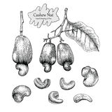 Cashew nut  collection.Hand drawing vintage style on white. Background Stock Photo
