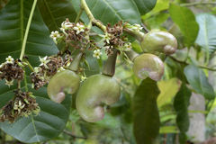 Cashew nut- Flowers and tender nuts on plant stock photo