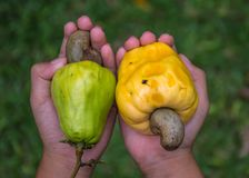 Cashew,Anacardium Occidentale ,Fruit. Cashew nut Is a perennial plant in the Anacardiaceae family. Same with mango. And Pistachios Cashew is a native plant of Royalty Free Stock Photo