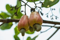 Free Cashew Nut Ripe On The Tree Royalty Free Stock Photo - 121391075