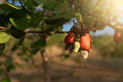 Cashew nut seed grooving in the tree. Cashew nut seed ready to harvest, hanging on the branch. Cambodia, Banlung province Stock Images