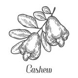 Cashew nut seed plant vector. Isolated on white background. Cashew butter food ingredient. Engraved hand drawn illustration in retro vintage style. Organic Royalty Free Stock Photos