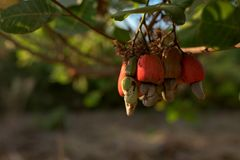 Cashew nut seed grooving in the tree. Cashew nut seed ready to harvest, hanging on the branch. Cambodia, Banlung province Royalty Free Stock Images
