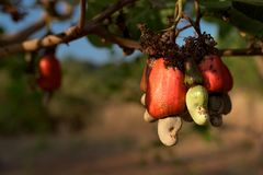 Cashew nut seed grooving in the tree. Cashew nut seed ready to harvest, hanging on the branch. Cambodia, Banlung province Stock Photos