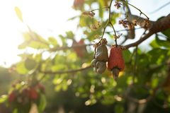 Cashew nut seed grooving in the tree. Cashew nut seed ready to harvest, hanging on the branch. Cambodia, Banlung province Royalty Free Stock Image