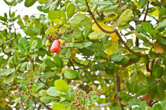 Cashew nut on tree Stock Photography