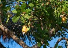 Cashew nut Stock Images