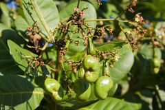 Cashew nuts growing on a tree. Stock Photo