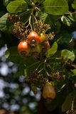 Cashew nuts growing on a tree Royalty Free Stock Images