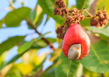 Cashew nuts growing on a tree This extraordinary nut grows outsi Stock Photo