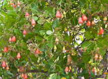 Cashew nuts growing on a tree Royalty Free Stock Photo