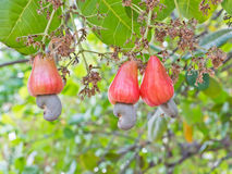 Cashew nuts growing on a tree Stock Image