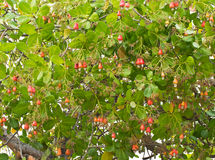 Cashew nuts growing on a tree Stock Images