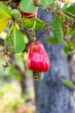 Cashew nuts growing on a tree Royalty Free Stock Photos