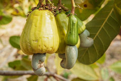 Cashew nuts  ripe Stock Photography