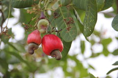 Cashew. Nuts of cashew ripen on a tree in Panama royalty free stock photography