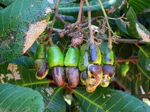Cashew nuts on tree Royalty Free Stock Image