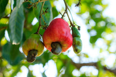 Cashew nuts tree. Cashew nuts growing on a tree This extraordinary nut grows outside the fruit Royalty Free Stock Image