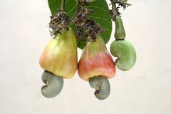 Cashew nuts- two ripened apples with nuts and one tender nut. Cashew-nut (Anacardium occidentale) close-up of two ripened fruits with nuts and one tender nut Royalty Free Stock Images