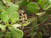 Cashew plant closeup with flowers royalty free stock photos