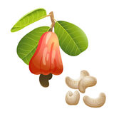 Cashew plant and peeled kernels. Part of cashew branch with the fruit and peeled nuts Stock Photo