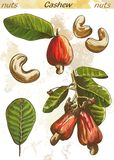 Cashew Stock Image