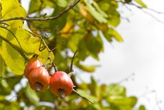 Cashew tree Royalty Free Stock Image