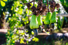 Cashew Tree Royalty Free Stock Photography