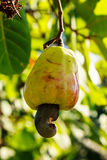 Cashew Tree Stock Image