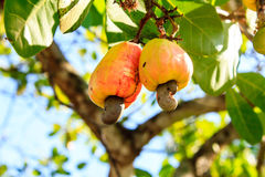 Cashew Tree. Cashew nuts growing on a tree This extraordinary nut grows outside the fruit Stock Images