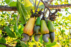 Cashew Tree Royalty Free Stock Photos