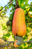 Cashew Tree Stock Photos