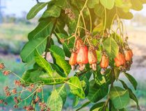 Cashew tree with the raw fruit. Cashew tree with the raw fruit and nut stock image