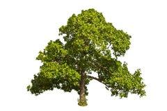 Cashewnootboom (Anacardium occidentale L.). Stock Afbeelding