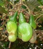 Cashews royalty free stock images