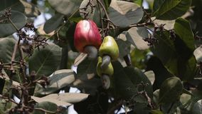 Cashews hanging on a tree in the garden.
