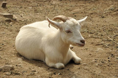 Cashmere goat. Restful cashmere goat, lying on the ground stock images