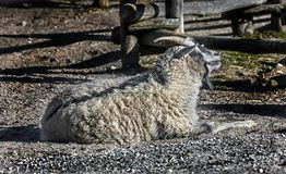Cashmere goat 1 royalty free stock images
